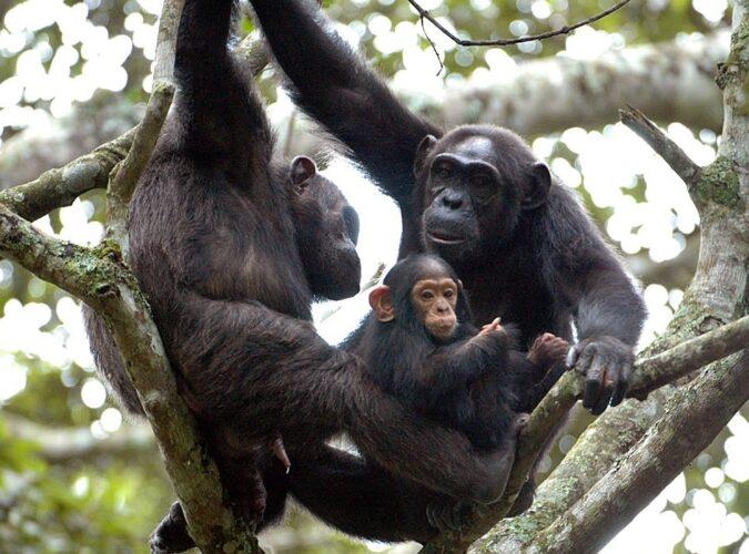 Chimpanzee Trekking1
