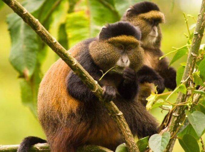 Golden Monkey1