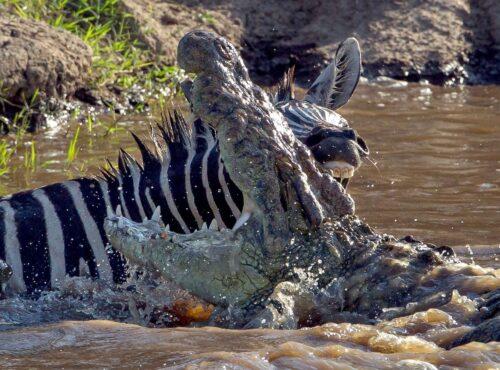 Mara River while crocodiles