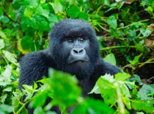 Rwanda Gorilla1