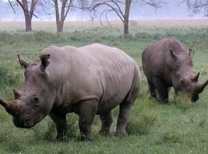 black and white rhino species